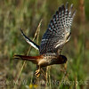 Kestral flying 2