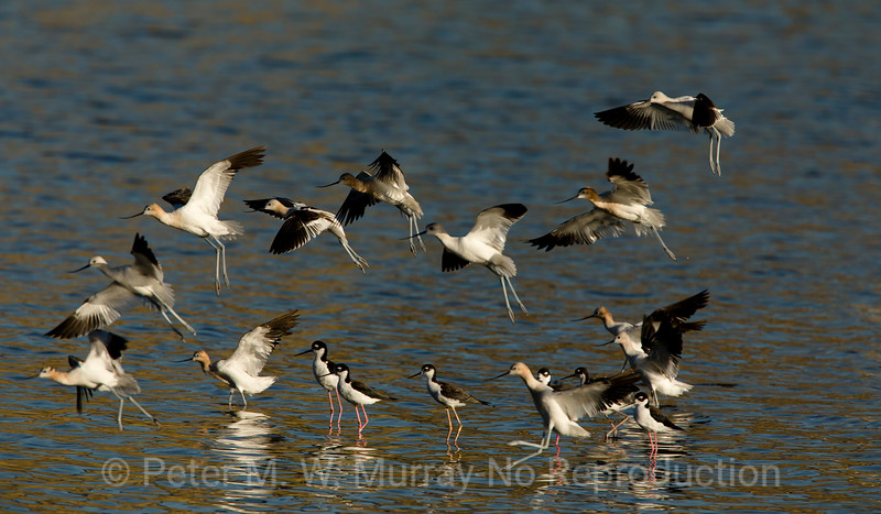 Avocets land among the Black-necked Stlts.