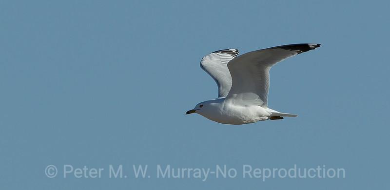 9 California Gull flying
