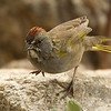 Green Tailed Towee