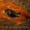Rufus Hummer Eye Detail.