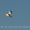 White Pelicans in formation