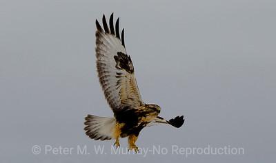Rough-legged Hawk.