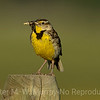 Meadowlark with an early morning bug for breakfast...Yum.