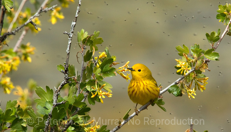 Dendroica petechia: Yellow Warbler