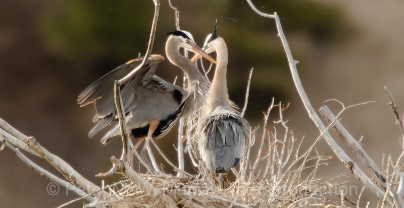 Great Blue Heron's re-establish their nest along the Yellowstone River.