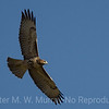 Red Tailed Hawk Light phase