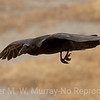 1 Raven soaring