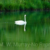 Trumpeter Swan in pre-dawn light.