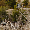 Great Blue Herons are back for the 2018 breeding season along the Yellowstone River.