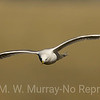 Ring-billed Gull  on the wing.