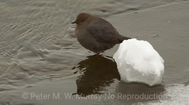 3 Dipper along river snow ball