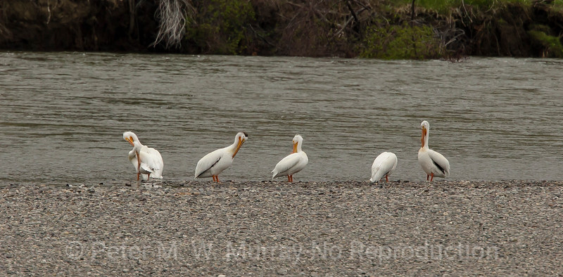 White Pelicans at the pebble bar.