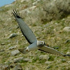 Northern Harrier over Dailey Lake area 4 24 18
