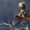 Red Tail Hawk joins mate in weathered tree