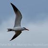 1 Caspian Tern