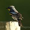 5 Yellow-rumped Warbler