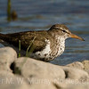 Western Spotted Sandpiper