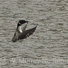 Common Loon preening.