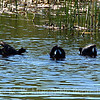 American Coot Males desplaying