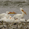 White Pelicans on the Yellowstone River 4 28 17.