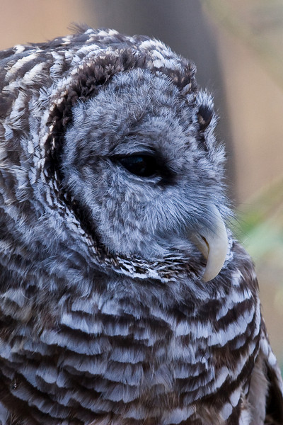 Barred Owl 020908_5040