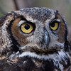 Great Horned Owl 020908_4967