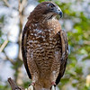 Broad Winged Hawk 020908_4596
