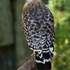 Red Shouldered Hawk 051208_9051