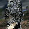 Barred Owl 020307_0397
