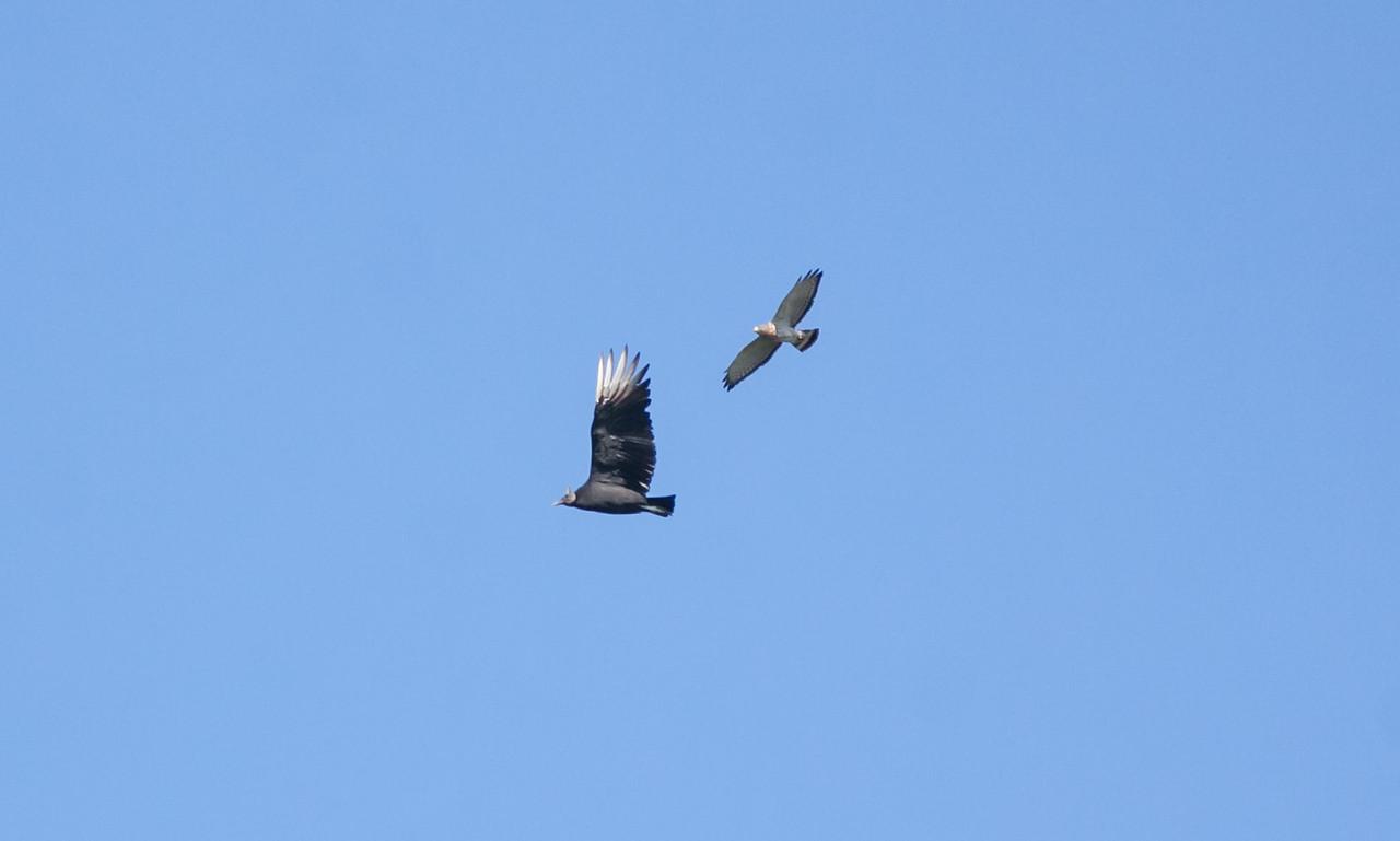 Broadwing Hawk & Black Vulture