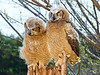 Baby Eagle Owls