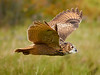 Turkmenian Eagle Owl in flight