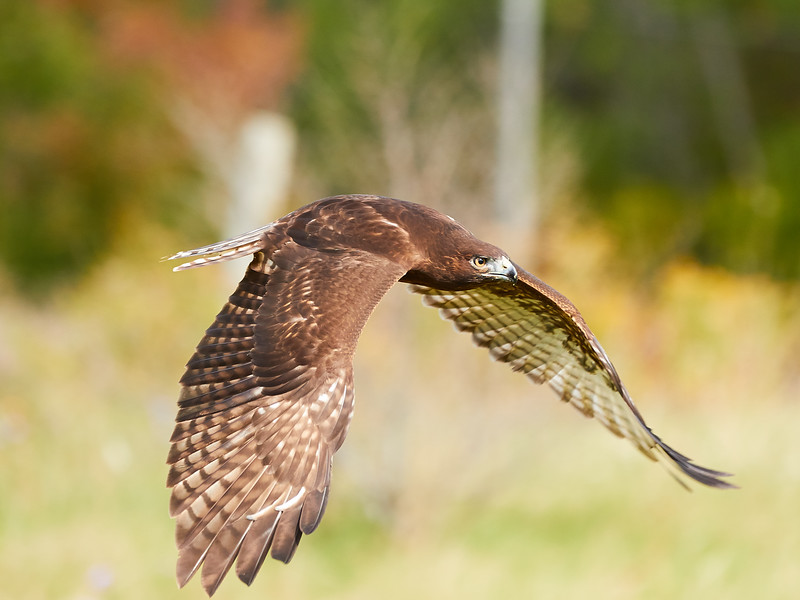 Red-tailed Hawk (Harlan's variety)