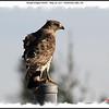 Broad-winged Hawk - May 26, 2011 - Pockwock Lake, NS