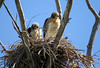 Red Tailed Hawks (Buteo jamaicensis)