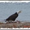 Bald Eagle - February 15, 2009 - Eastern Passage, NS