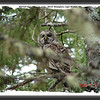 Barred Owl - May 17, 2009 - River Bourgeois, Cape Breton, NS