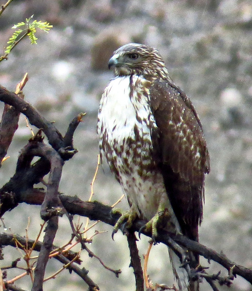 Red Tailed Hawks (Buteo jamaicensis) - 1st year juvenile