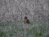 Northern Harrier - Circus hudsonius - MALE