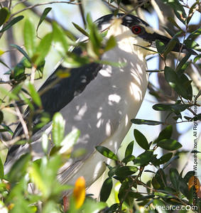Black Crowned Night Heron. Get notifications via: