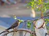 American Kestrel, female (Falco sparverius)