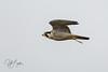 Peregrine Falcon-2390