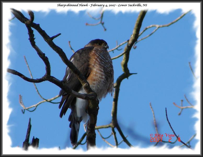Sharp-shinned Hawk - February 4, 2007 - Lower Sackville, NS