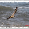 Peregrine Falcon - October 15, 2011 - Hartlen Point, Eastern Passage, NS