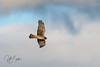Northern Harrier-2457