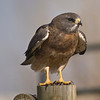 Swainson's Hawk (Buteo swainsoni) - probably male