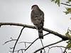 Cooper's Hawk (Accipiter cooperii) - back