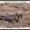 Rough-legged Hawk - March 13, 2011 - Dartmouth, NS