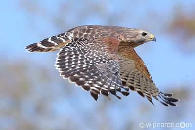 Red-Shouldered Hawk at Sweetwater Strand, Everglades.  Loop Road.